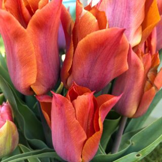 Scented tulips 🧡 #tulipsofinstagram #floweringnow #springflowers #inseasonnow #scentedtulips #grownnotflown #fieldtovase