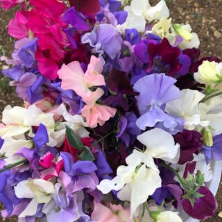 Day 15 #flowerfarmerama @businessofflowers The plant that has a special meaning for youI'm not sure I really have one specific flower with special meaning. Iris's are special to me of course as we named our daughter Iris 💕I do also love sweet peas as my granny used to grow them, and my mum also likes to grow sweet peas. Dahlias are also on the list as they are the first flower I started growing to sell. #flowerfarmer #britishflowergrower #locallygrownflowers #zeroairmiles #sustainablygrownflowers #smallbusiness #growninthecotswolds #seasonalflowers #chemicalfree #cotswolds #fairford