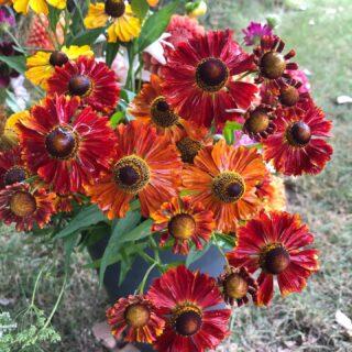 September flowers… Autumn colours are creeping into the bouquets. #irisandwilfseptember #helenium #slowflowers #autumncolours #ecoflowers #freefromchemicals #britishflowersseptember #cutflowers #fieldtovase