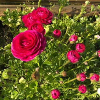 We have some lovely pink ranunculus coming along nicely in the mini tunnel. I love these hot pink ones 😎