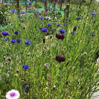 ***British Flowers Week*** Started by #newcoventgardenmarket and now in its 9th year, #britishflowersweek is a celebration of the beauty and variety of British cut flowers. #britishgrownflowers #britishflowers #britishflowergrowers #flowersfromthefarm #zeroairmilesflowers #buybritish #locallygrownflowers #scentedflowers #freshflowers #cutflowersuk #cutflowers #britishseasonalflowers #irisandwilfjune #bouquets #buckets #weddings #gardengatesales