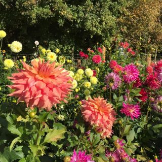 Swipe to see what the dahlias look like now. I've been busy cutting them down and deciding which ones will stay in the ground and which ones will be lifted. I've successfully managed to overwinter my dahlias in the ground for 3 seasons now. I always find the wet is more of a problem then the cold and the odd one does rot. Most are fine though. This year I'm lifting the ones which have been in for a few years as they're not as productive anymore. I will store them and take cuttings next year. I will also buy new ones, because I can't help myself! #dahlias #dahliaseason2020 #endofthedahlias #cutflowers #growninthecotswolds #britishgrownflowers #iris&wilfnovember #cotswolds
