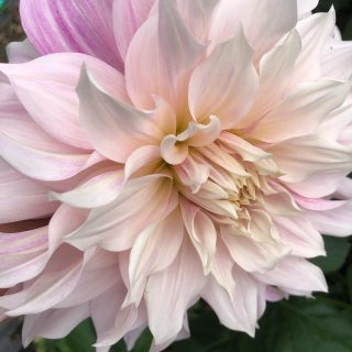 Tonight is the night we are likely to lose the dahlias. They've flowered and flowered for months and although I will miss them, it's time to look ahead to next season. There is plenty to do and lots to look forward to (once we see the back of 2020!) #onwardsandupwards #endofthedahlias #dahliaseason2020 #britishgrownflowers #cutflowers #britishcutflowers #growninthecotswolds #cotswolds